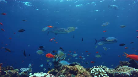 biodiversidade : Lively coral reef teeming with life