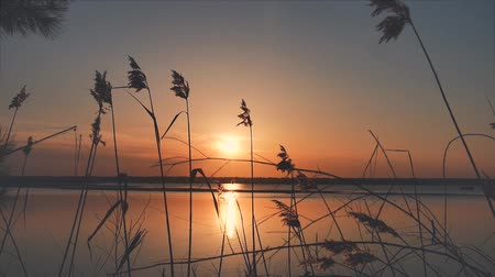 levee : Panoramic footage of a picturesque sunset over the lake with reeds blowing in the wind, warm colors excite and transmit That feeling of peace and relaxation