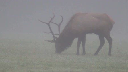 премия : Trophy-class Bull Elk Stag in dense morning fog; Buffalo National River big game, elk, & deer hunting