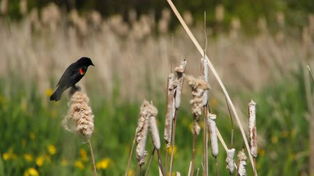 состояние : v1. Clip of red-winged black bird on cattails (Typha latifolia) in wetlands area.