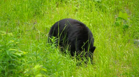 descobrir : v1. Wild black bear near Whistler, BC. Stock Footage
