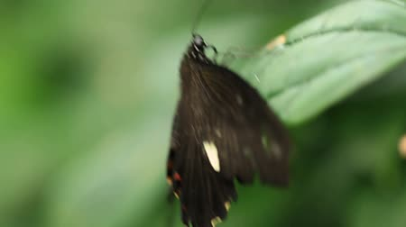 owady : v6. Macro clip of a butterfly on a leaf, then flies away.