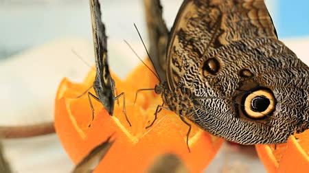 selektif : v9. Macro clip of butterflies eating an orange. Stok Video