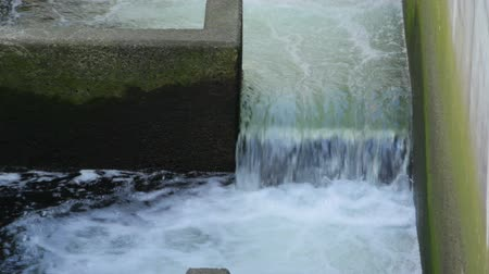 yaşama gücü : v3. Ballard locks fish ladder with Chinook salmon jumping. Stok Video