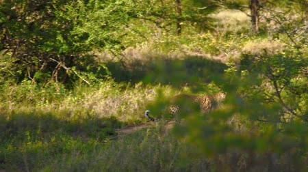 kotki : Two clips of a wild leopard in South African savannah.