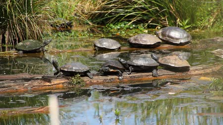 pântano : v4. Clip of turtles sunbathing. Painted Turtles (Chrysemys picta) near Seattle, WA.