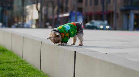 рукав : v4. Shot of yorkie wondering around on sidewalk in city. Street car passing by in background.