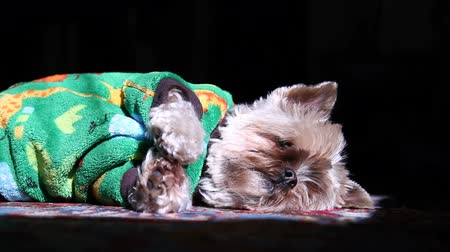 рукав : v5. Shot of yorkie lying on rug sun bathing  and scratching its face.