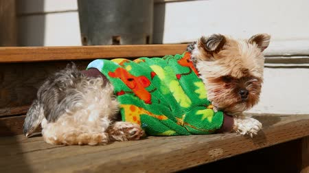 рукав : v7. Yorkie lounging on wood stairs and sun bathing.