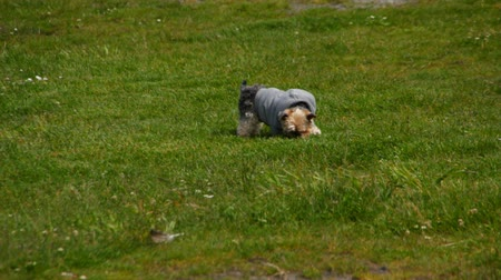рукав : v15. Yorkie rolling in grass with hoodie on. Стоковые видеозаписи
