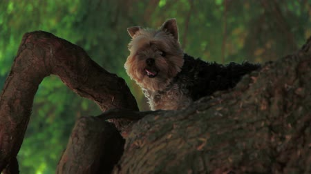 рукав : v18. Yorkie up in a tree, then lays down. Стоковые видеозаписи