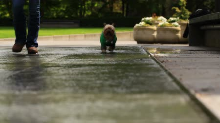 рукав : v21. Yorkie running through a fountain towards and past camera.