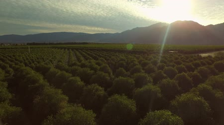 diretamente : Orchards Aerial v4 Low flying over grapefruit orchards in Southern California.