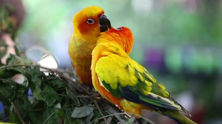 liebe : Sun Conure Papagei Videos
