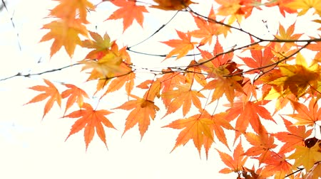 borders : Maple leaves in Autumn isolated on white copy space for text edit Stock Footage