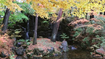 red maple : Beautiful maple season at fall, kawaguchiko japan Stock Footage