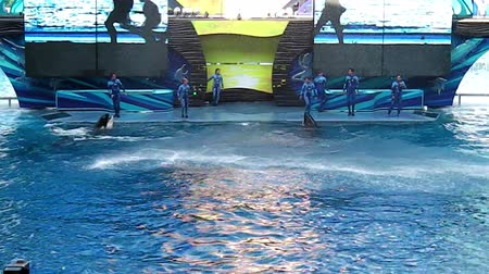 azul : Orlando Florida United States - April 22 2012: the killer whales performing at Seaworld. Seaworld is an animal theme park oceanarium and to a marine mammal park. Stock Footage
