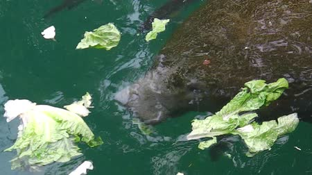 food state : Manatee eating vegetables in Crystal River National Wildlife Refuge, Florida, United States.The Caribbean manatee, Trichechus manatus, is a mammal of Trichechidae family living in the Caribbean waters