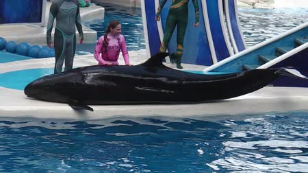 killer whale : Orlando, Florida, United States - April 22, 2012: a pseudorca (false killer whale) with wet body emerging from the water during a show at Seaworld. animal theme park, oceanarium and to a marine park.