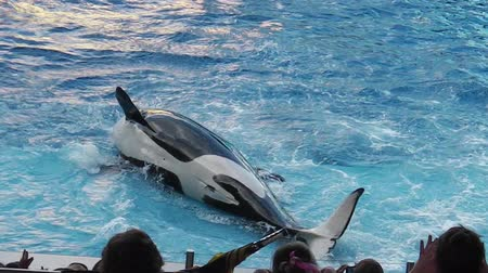 killer whale : Orlando, Florida, United States - April 22, 2012: an orca with wet body emerging from the water during a show at Seaworld. Seaworld is an animal theme park, oceanarium and to a marine mammal park.