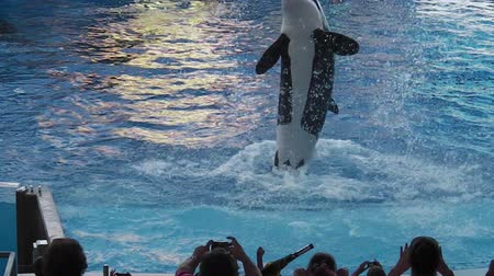 riskli : Orlando, Florida, USA - April 22, 2012: Tilikum, the killer whale, performs in the shamu show at Seaworld. The orca is popular for the documentary Blackfish.