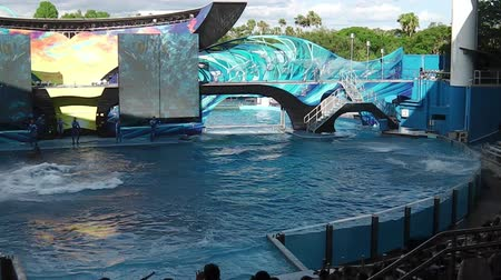 killer whale : Orlando, Florida, United States - April 22, 2012: Tilikum, the killer whale, jumping in the shamu show at Seaworld. Tilikum is the largest and most famous orca hosted at Seaworld.