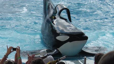 killer whale : Orlando, Florida, United States - April 22, 2012: an orca with wet body comes out and posing in a show at Seaworld. Seaworld is an animal theme park, oceanarium and to a marine mammal park.