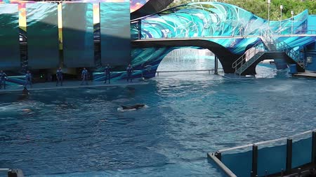 riskli : Orlando, Florida, United States - April 22, 2012: Tilikum, the killer whale, performs in the shamu show at Seaworld. Tilikum is the largest and most famous orca hosted at Seaworld. Stok Video
