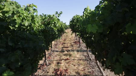 plantage : Weinberg in Napa Valley, San Francisco Bay Area in Nord-Kalifornien, USA.