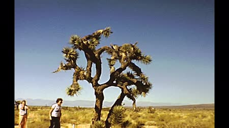 drive through : Yosemite National Park, California, United States - circa April 1979: Vintage video of a tourist family looking a giant cactus tree in the Park during, a stop of their tour trip on the road.