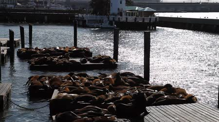 embarcadero : Sea lions at Pier 39 a popular tourist attraction in San Francisco, California, United States. Pier 39 is located at the edge of Fishermans Wharf district and is close to North Beach and Embarcadero.