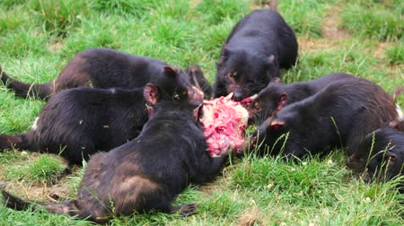 szatan : Tasmanian devils eating a prey in Tasmania on grass ground Wideo