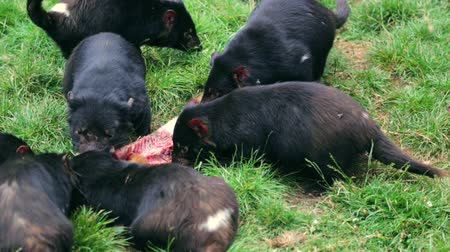 szatan : Tasmanian devils hunting prey in Tasmania on grass ground
