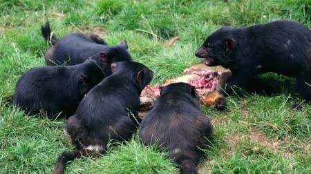 tasmania : Tasmanian devils feeding on a prey in Tasmania on grass ground