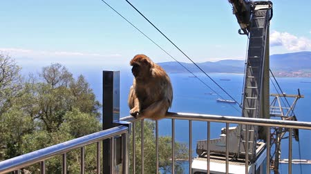 sea monkeys : Gibraltar, United Kingdom - April 24, 2016: a famous wild macaque in Upper Rock Natural Reserve. With the cable car that leads to Gibraltar Rock. Stock Footage
