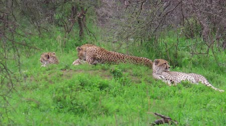 felidae : Two young cheetahs with their mother in Tarangire National Park, Tanzania Africa.