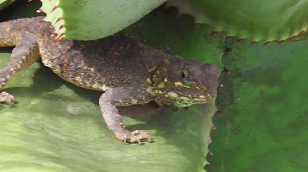 pogona : In the Serengeti over a cactus leave, an African Agama Agama lizard. Africa, Tanzania. Stock Footage