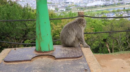 prospective : Close up of Japanese macaque sitting and propsective view of observation binoculars in Iwatayama Monkey Park, Arashiyama in Kyoto, Japan.Spectacular aerial view and skyline of Kyoto city on background