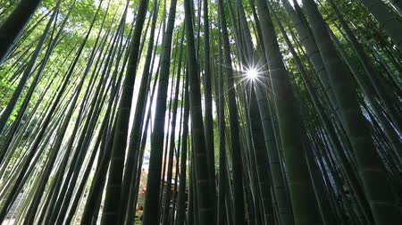 prospective : Green forest e of bamboo of Take-dera Temple in Kamakura town of Japan. Sun lit bamboo grove background for meditative concept. Bottom view of giant bamboo garden of Hokoku-ji Temple in Kamakura,