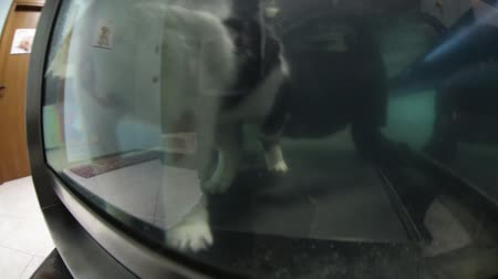 weterynarz : Veterinarian rehabilitation therapy to a cat on water tapis roulant