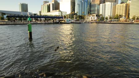 ducky : Perth, Australia - Jan 6, 2018: little duckling of swan swimming in Elizabeth Quay lake at sunset light. The popular and modern skyscrapers of Perth skyline on background, Western Australia.