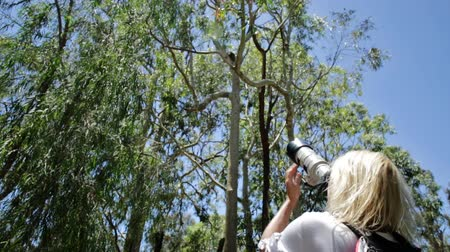 koala bear : Wildlife woman taking pictures of a Koala while sleeping on a branch of eucalyptus in Yanchep National Park, Western Australia. Travel female photographs outdoor a Koala on a tree.