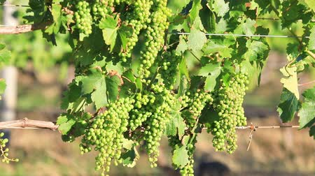 маргарита : White grapes of vine in vineyard in sunset light. White grapes for wine on blurred background. Margaret River, wine region of Western Australia.