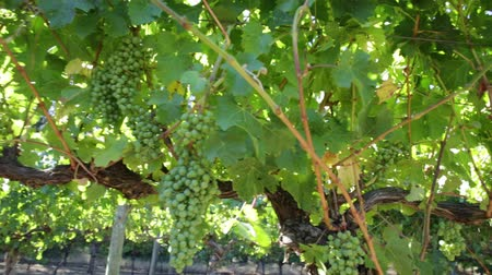 маргарита : Sunset close up panorama of white grapes on vine in Margaret River, wine region in Western Australia. Margaret River is known for its many wineries.