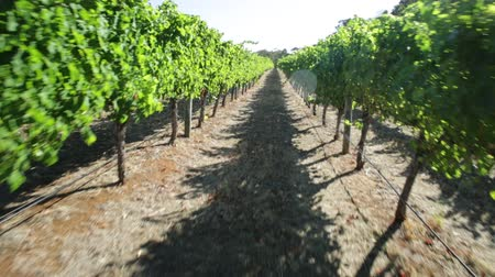 маргарита : POV walking in a vineyard with rows of white grapes in the scenic landscape of Wilyabrup in Margaret River the famous Wine Region in Western Australia where wine tasting tours are popular.