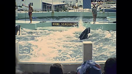 killer whale : Miami, Florida, United States - Circa 1978: Historical Miami Seaquarium in the 1970s. Animal trainer making killer whale jumping for tourists in the aquarium pool. Stock Footage