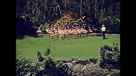 escarlate : Pink flamingos on the grass in Miami park in Florida in 70s. Historical United States of America in 1978. Stock Footage