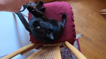 ronronar : SLOW MOTION: cutting claws to a black cat relaxing on its pillow. Cat rebelling and struggling to defend its nails from cutting. The concept of animal aggressiveness.