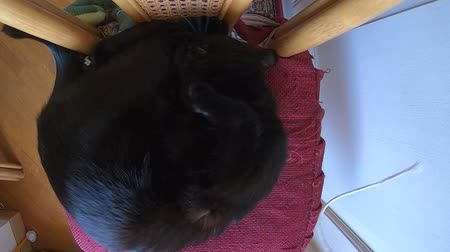 ronronar : SLOW MOTION: drawing attention a resting black domestic cat to play with a string on its chair. Concept of animal caring and playing.