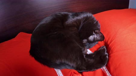ronronar : Black domestic cat sleeping in bed with red pillows. The concept of animal relax and safety. Stock Footage